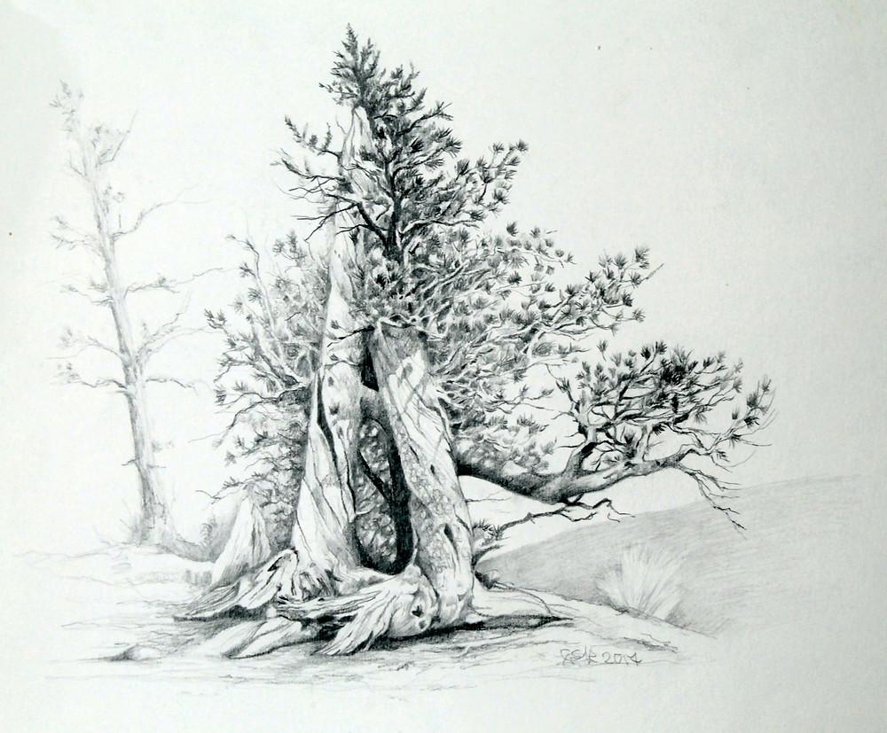Bristle cone Pines, Graphite pencil, my own reference