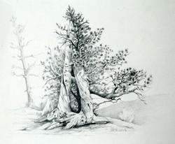 bristlecone-pines