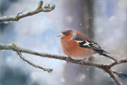 winter chaffinch