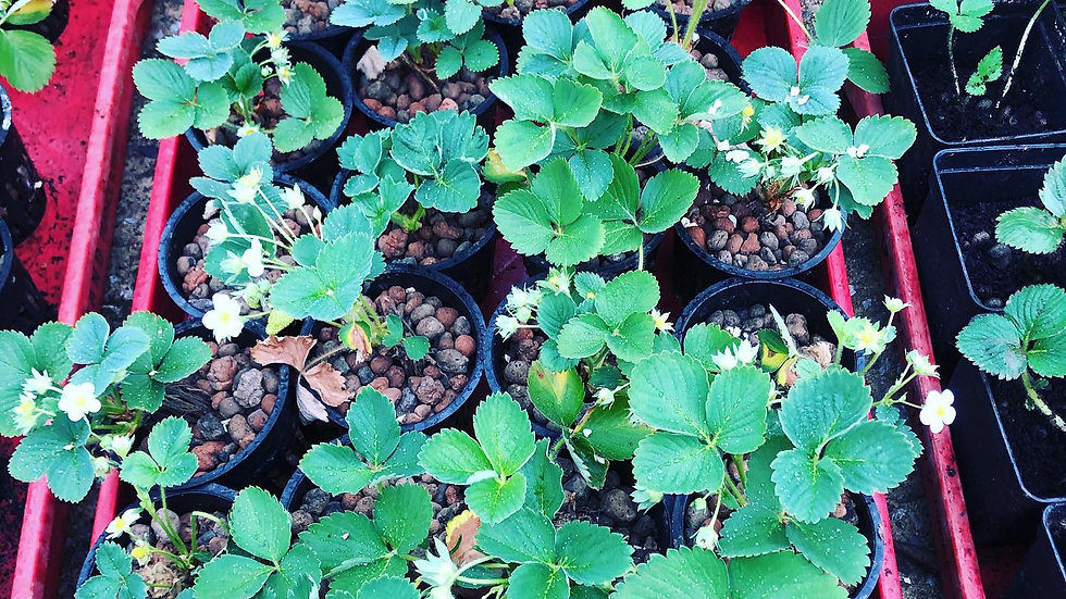 Plant de fraisier mariguette à replanter, origine La Divatte