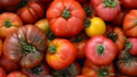 Mélange tomates anciennes aquaponiques, origine La Divatte - 1kg