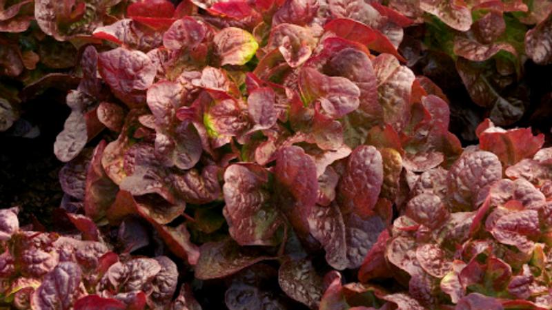 Laitue feuille de chêne rouge aquaponique, origine La Divatte - Le lot de 2