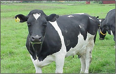 fodder yogurt for dairy.jpg