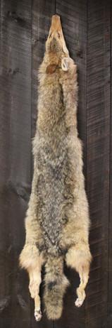 Coyote Pelt #2