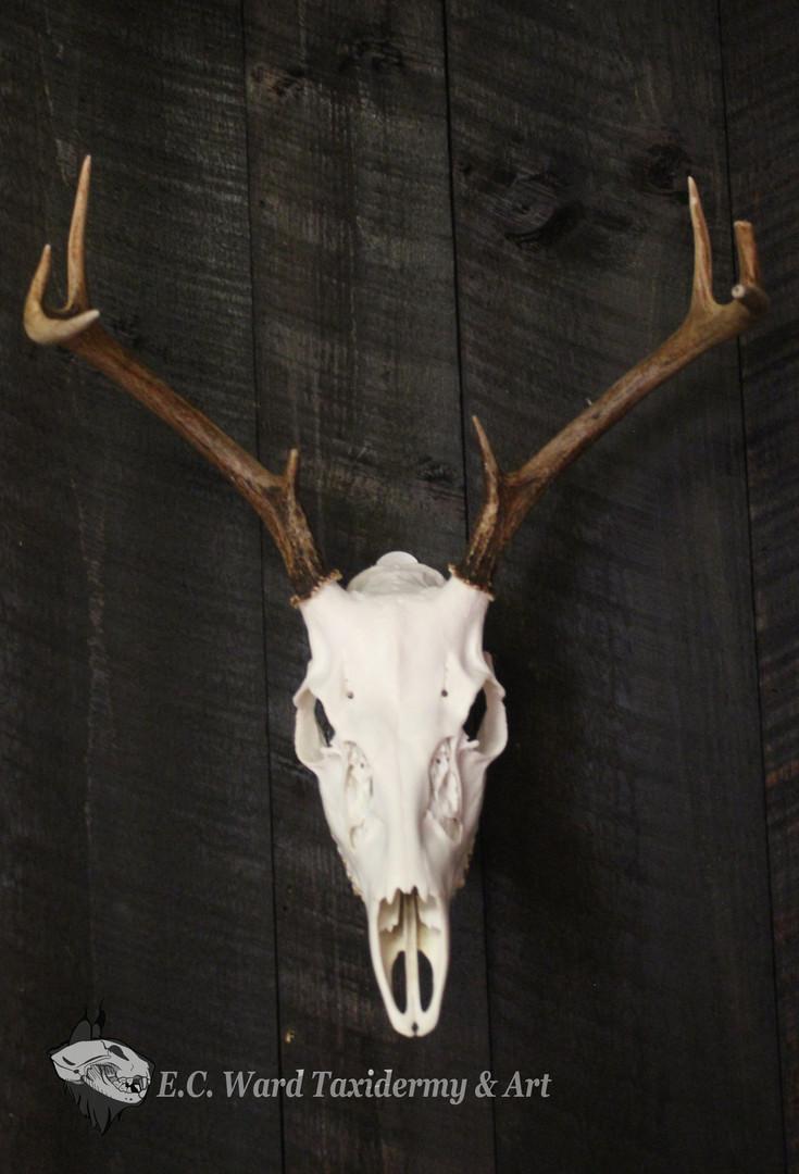Whitetail Buck Euro #2