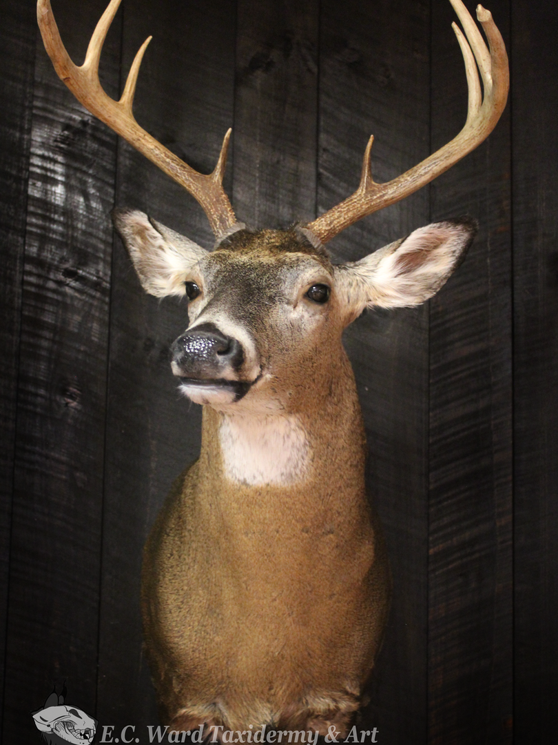 Whitetail Buck #3