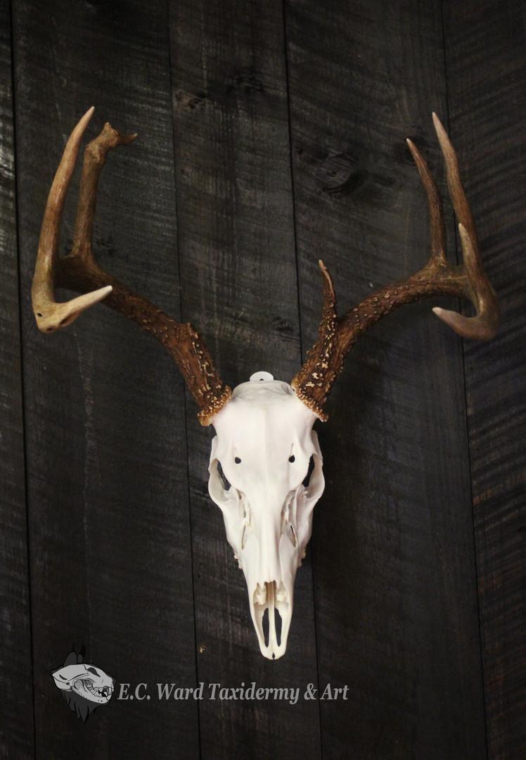 Whitetail Buck Euro #1