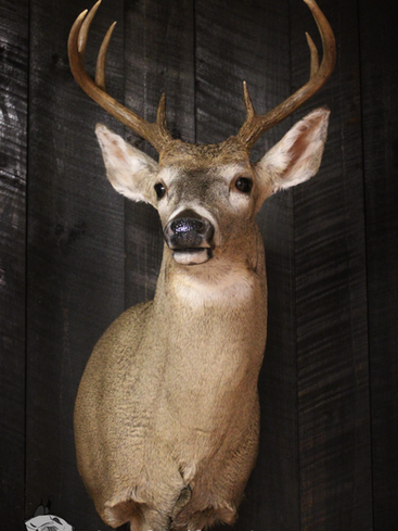 Whitetail Buck #2