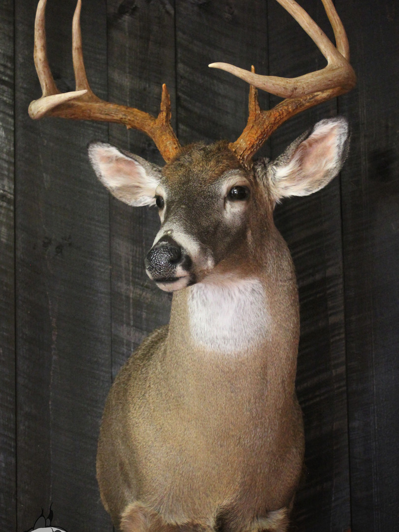 Whitetail Buck #1