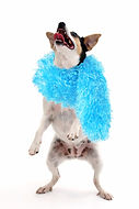 dancing dog w boa.jpg