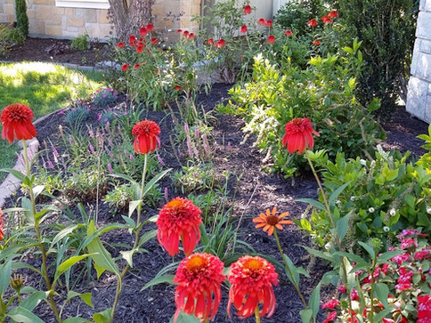 Showy flowers in full bloom for landscap