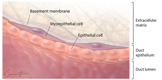 Cells of the mammary gland duct wall