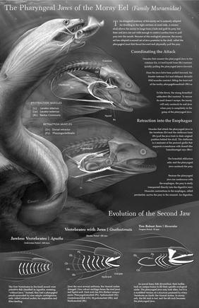 Pharyngeal jaw of the Moray Eel