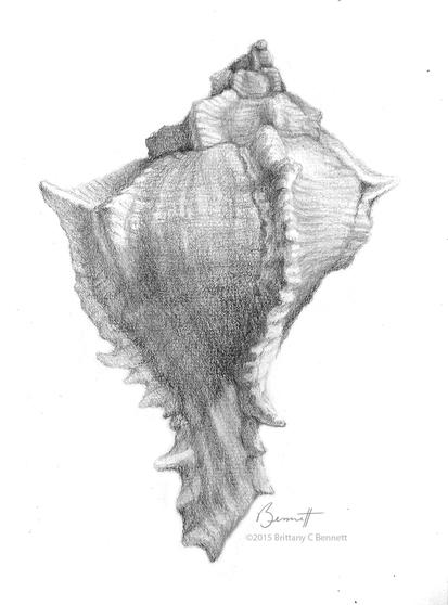 """""""A shell I found"""" - Graphite drawing"""
