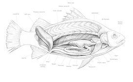 Brittany bennett scientific illustrator scientific illustrations perch internal anatomy ccuart Gallery