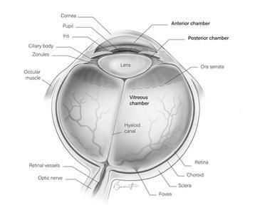 Anatomy of the eye