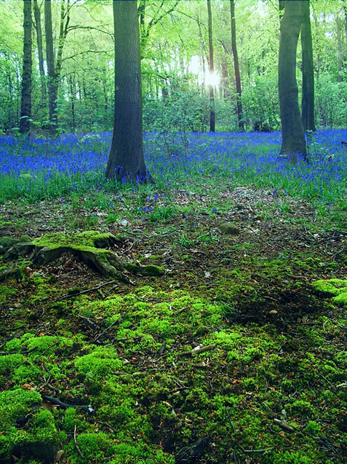 Bluebells in a woodland in near Swinsty Reservoir, Yorkshire  DOWNLOAD