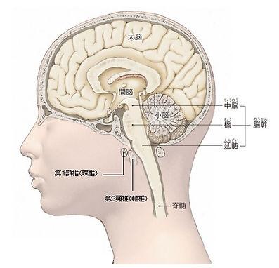 脳矢状断.jpg