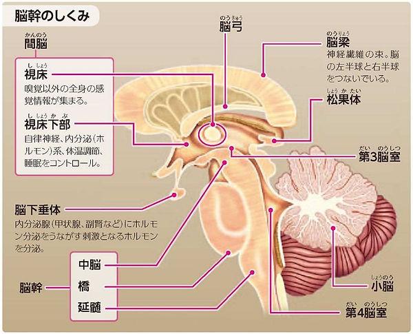 脳幹.jpg