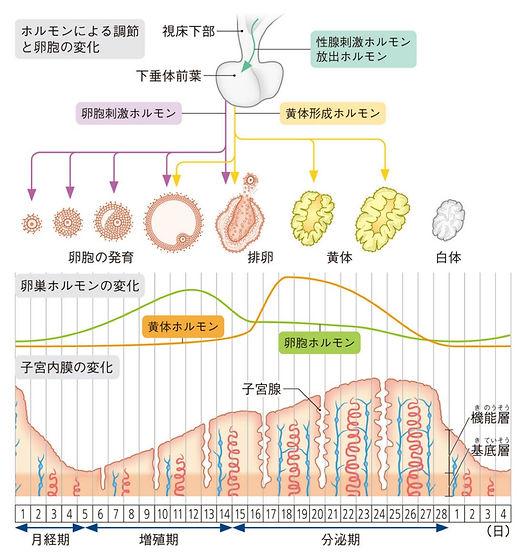 ホルモンと周期.jpg