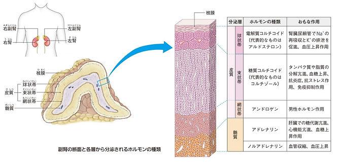 副腎断面図とホルモン.jpg