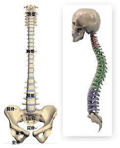頭蓋&背骨は、交通事故治療・むちうち専門施術の主役