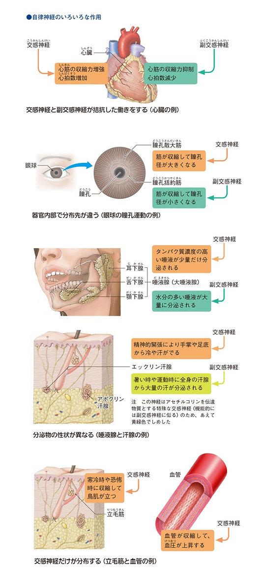 自律神経の作用.jpg