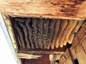 beehive-removal.jpeg
