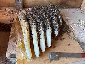 Honey_Bees.jpg