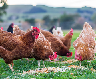 chickens-at-feeding-time-667540576_1368x