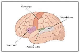Beynin Dil İçin Özelleşmiş Alanları