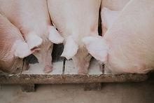 cerdo_higinio_martin_carniceria_online.j