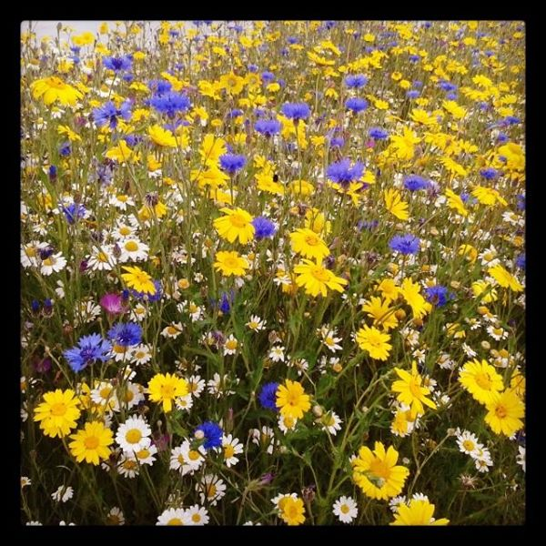 Wild flower meadow- pollen & nectar