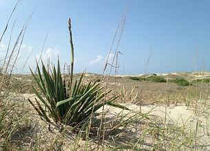 dune_yuccaglor.jpg