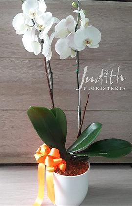 T36- Planta de Orquídeas