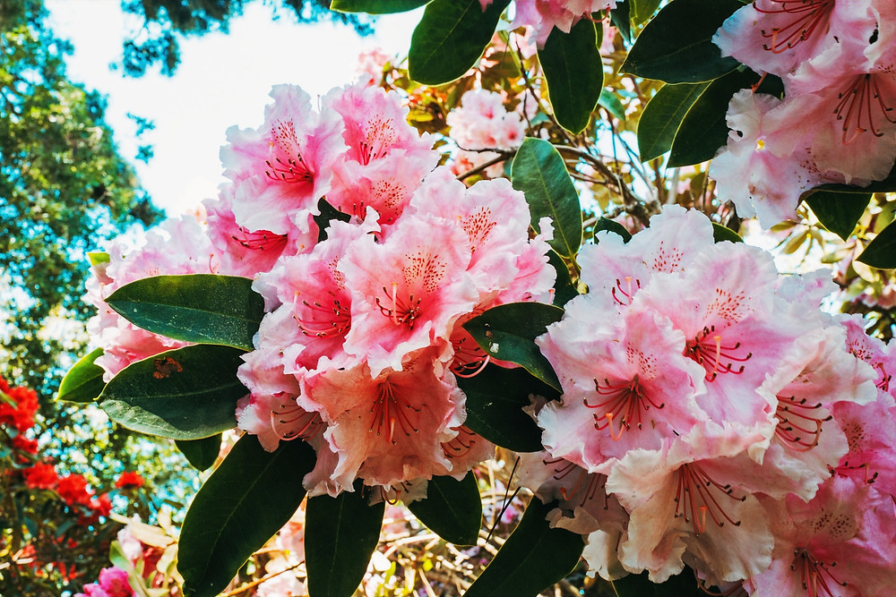As a nonprofit botanical garden, their mission is to engage and enrich lives by displaying and conserving plants in harmony with the Northern California coastal ecosystems and to preserve public access to the coast.