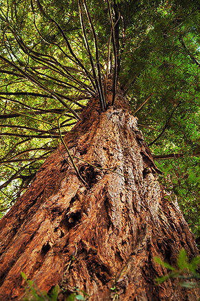 Coastal redwood, Sequoia sempervirens, tree, trees, big trees, gliffaes hotel, redwood, sequoia tree