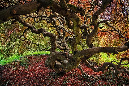 Acer palmatum tree, Autumn, autumn colour, Gliffaes, Wales, Brecon Beacons