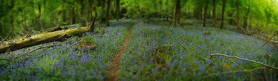 bluebells, woodland, forest, trees, spring, woods, English bluebells, Welsh woods