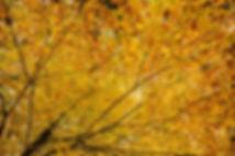 acer leaves, golden foliage, Fall colour, autumn colour, arboretum, trees, tree, tree canopy, autumn trees, autumn,