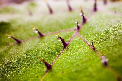 Thorns, thorny leaf, macro, dew