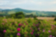 Rose, roses, rose oil, rose farm, Monmouthshire, countryside, scenery, Wales, Welsh hills