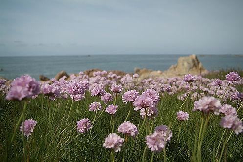 Guernsey, Channel Islands, spring, sea thrift, armeria maritima, coast photography, seaside