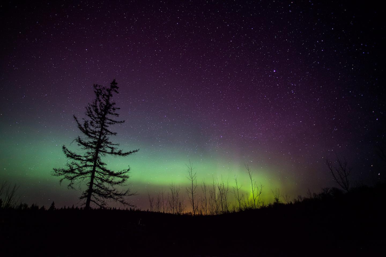 Lone Tamarack in Aurora