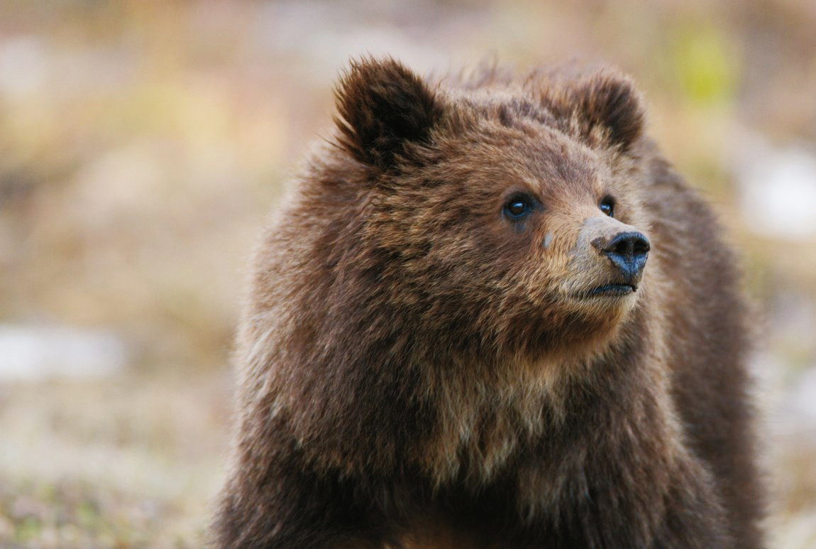 For future grizzly generations