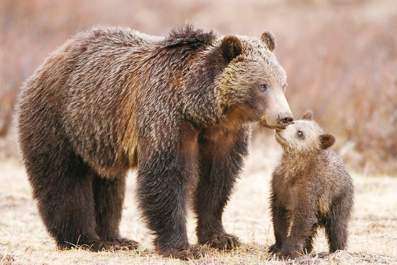 Grizzly bears are an endangered species - DON'T DELIST
