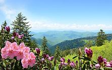 Beautiful azaleas blooming in mountains.