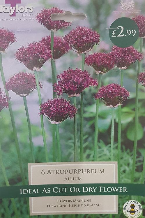 6 Atropurpureum Allium