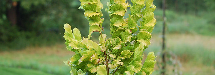 colimner-yellow-elm-tree-wredeii.jpg