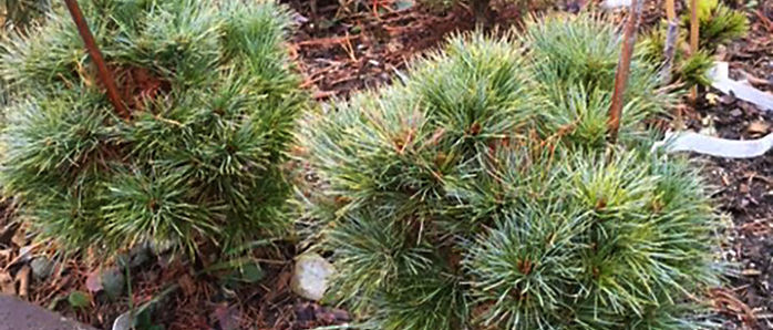 Pinus-strobus-tree-Sea-Urchin.jpg